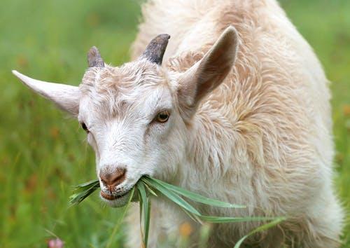 cara memilih kambing etawa
