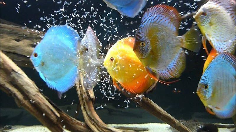 5 Cara Ternak Ikan Discus di Akuarium